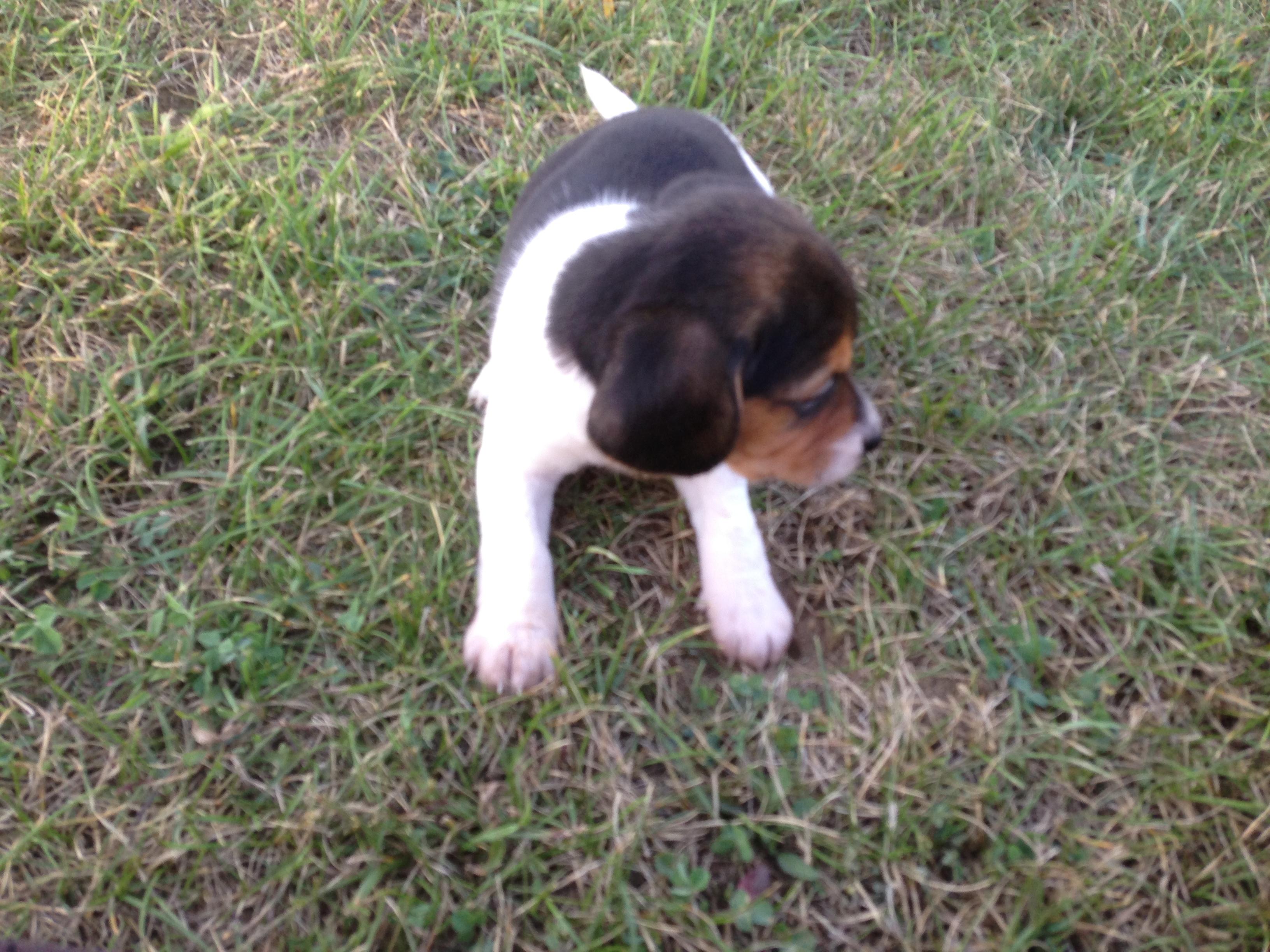 Pocket Beagles Raising Your New Best Friend